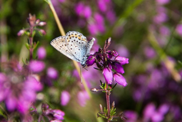 Blue butterfly clinging to some purple heather