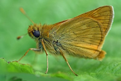 Sideways view of a small orange butterfly