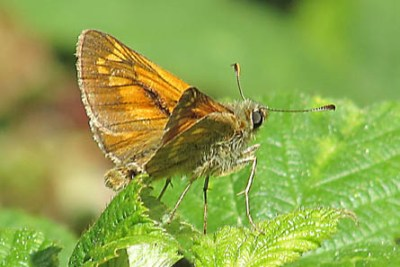 An orange and brown butterlfy on a leaf
