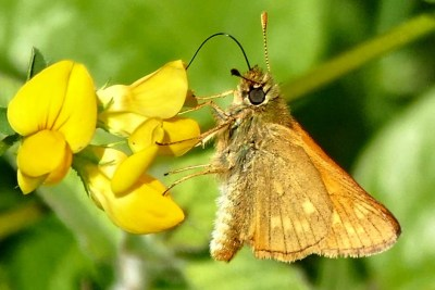 Orange buttrfly with pale markings feeding on a yellow flower