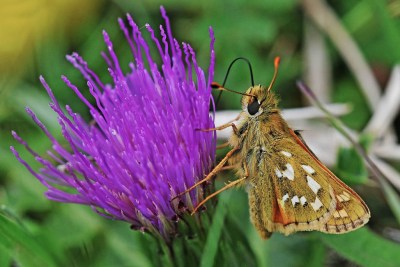 Small orangey butterfly clinging to a purple thistle flower