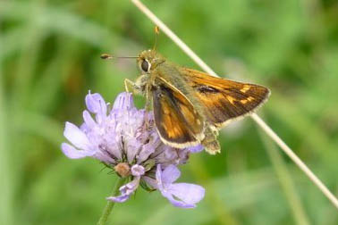 Samll brown and orange butterfly on a scabious flower