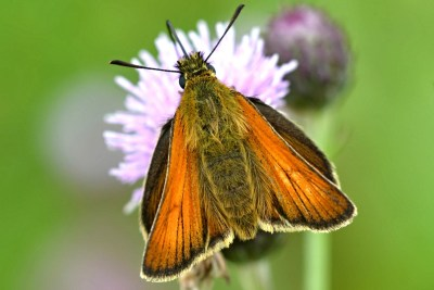 Orange butterfly with darker edging on pink flower
