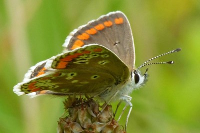 Close up of butterfly, showing its wings and white and black striped antennae