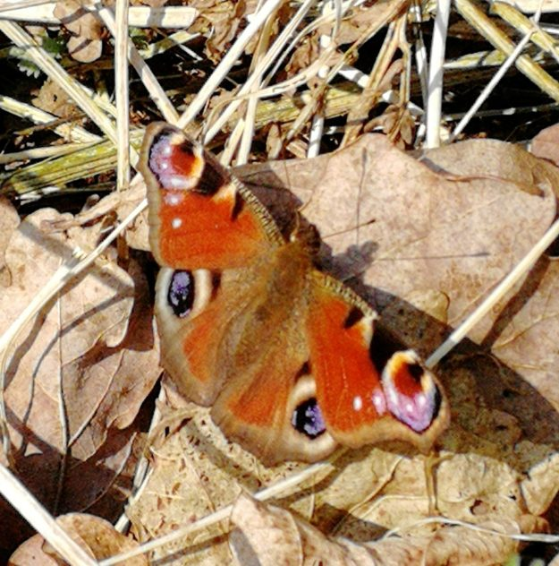 view of a Peacock on dead leaves  showing all upperside wings