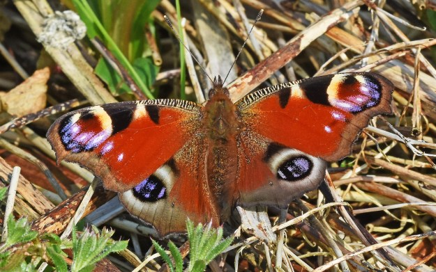 View of a Peacock resting with open wings on leaf litter, unusually showing one hindwing smaller but fully formed