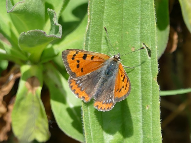 View of a Small Copper showing blue spots resting opper hind-wings, resting on a leaf
