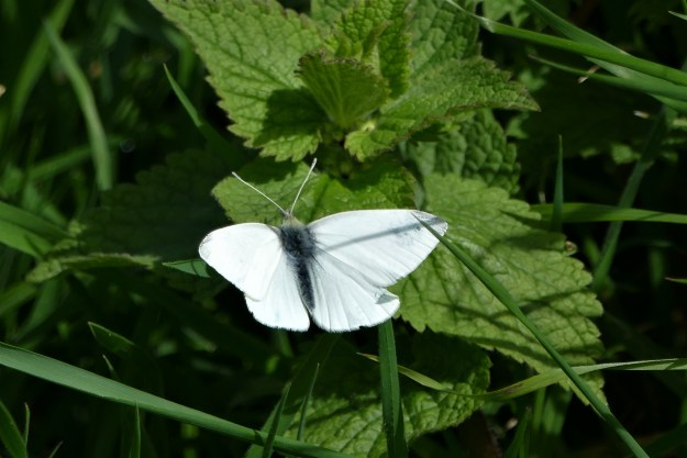 view of a Small white resting on nettles and showing upper and underwings