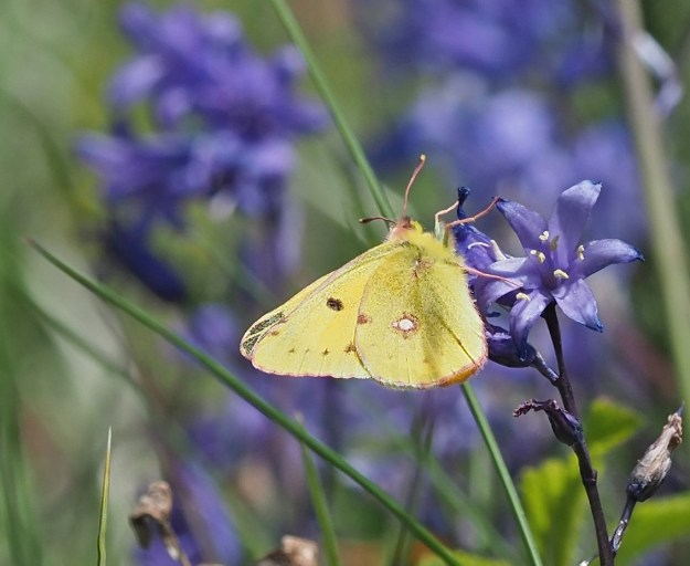 View of a Clouded Yellow on a Spanish bluebell showing fore and hind-wings undersides