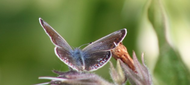view of female Common Blue nectaring with wings open showing details of fore-wings