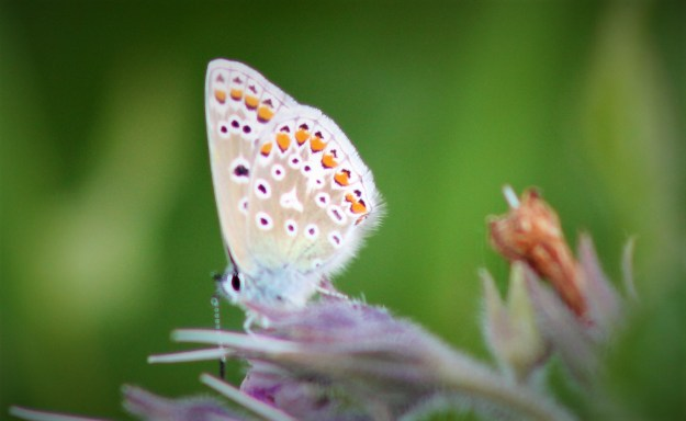 view of a Common Blue nectaring with wings partially closed, showing undersides of fore-wing and hind-wing