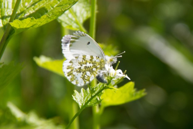 Underwings of a white butterfly with mottled green marking on the hindwings