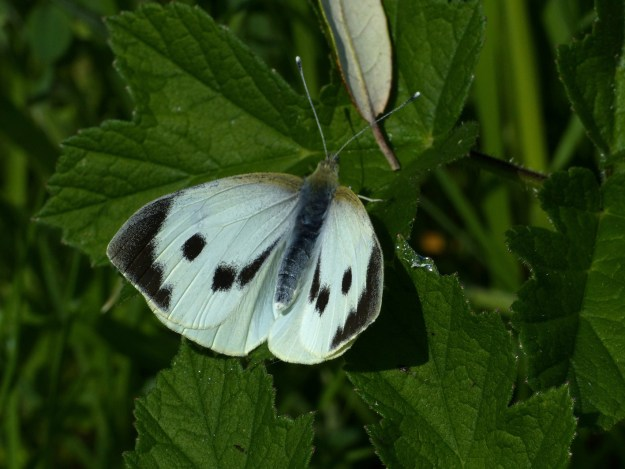 View of a pristine Large White ,restimg with wings almost fully open, showing the black edges and two black spots to the fore-wings