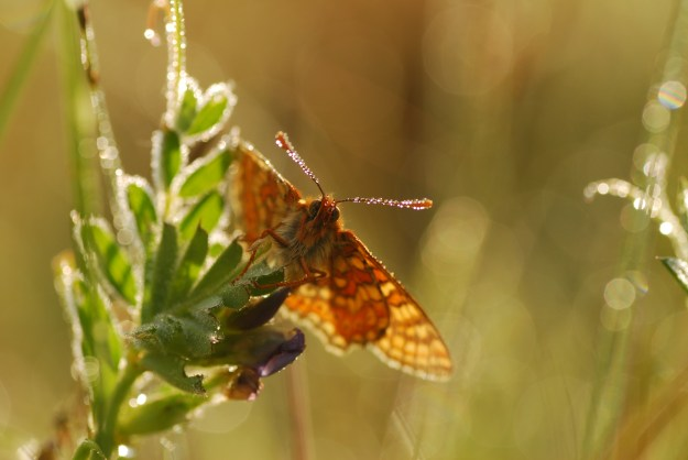 view of Marsh fritillary nectaring  and showing underwings and abdomen