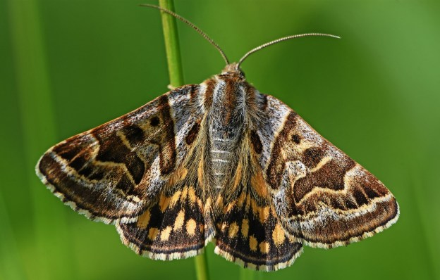 view of fresh Mother Shipton moth resting on a stem with wings open showing the full pattern that shows the two faces of the old lady