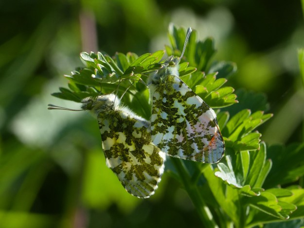 view of a mating pair of Orange tips