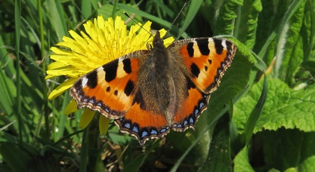 Orange, yellow, black and brown butterfly on a dandelion flower