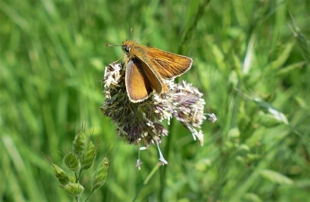 view of Lulworth Skipper on grass flower