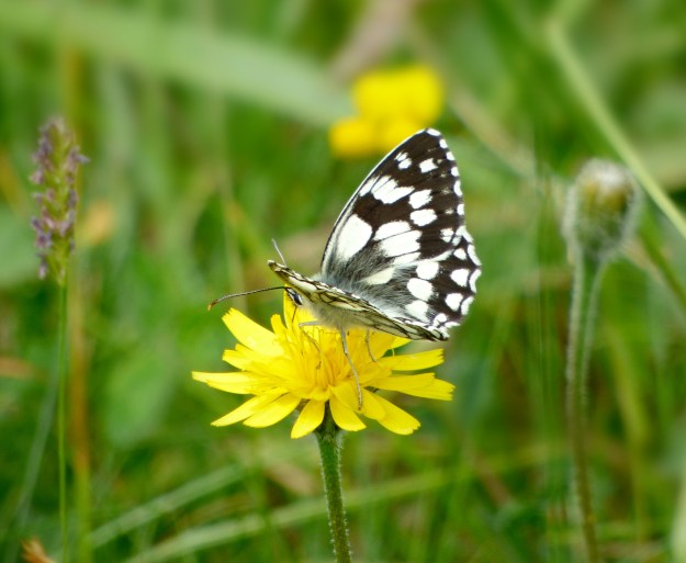 Black and white chequered butterfly on a yellow dandelion-like flower.
