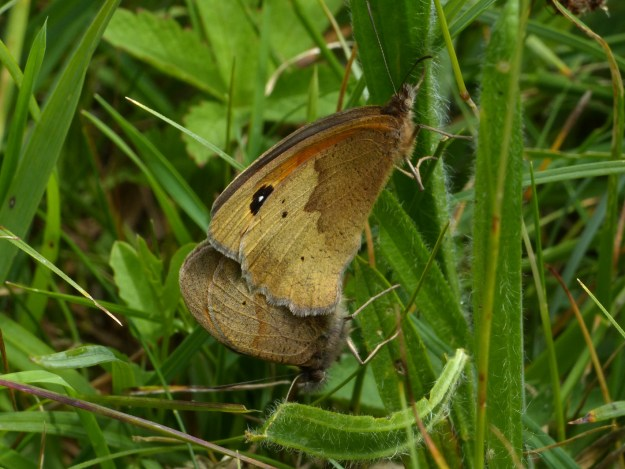 Two brown butterflies deep in the grass