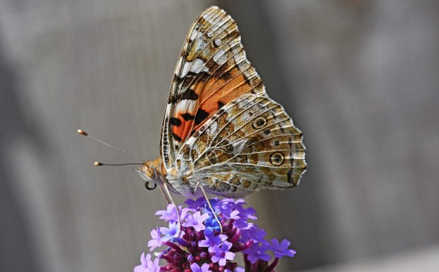 view of the underside hind-wing of a Painted Lady on Buddleia