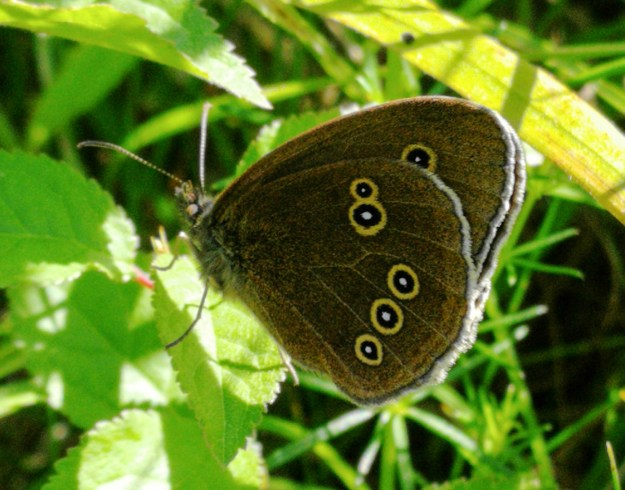 Dark brown butterfly with yellow rings on underwings
