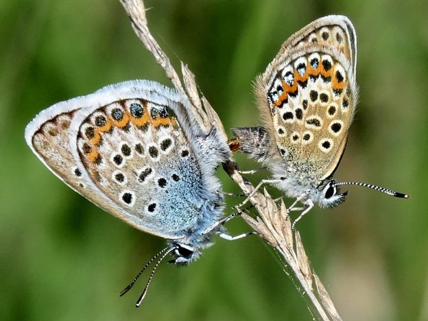 view of a pair of Silver-studded blues mating on a grass stem