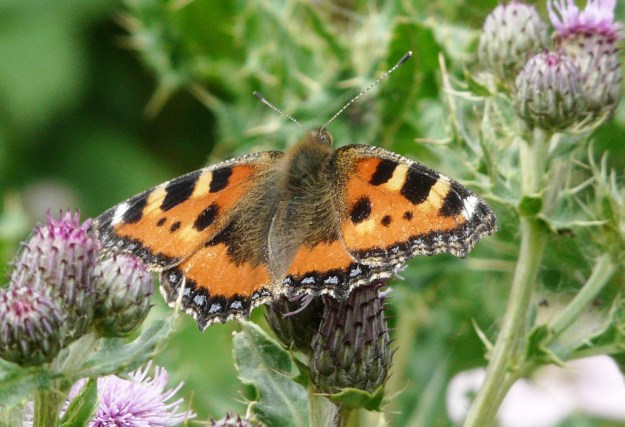 Orange butterfly with colourful markings, with open wings
