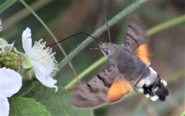 view of a Hummingbird Hawk moth nectaring on bramble flowers