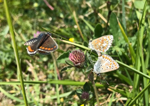 view of a pair of Brown Argus mating with a third taking an interest