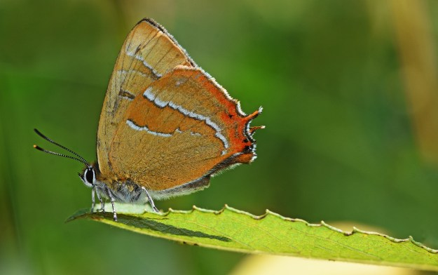 Pale brown and orange butterfly on the end of a leaf
