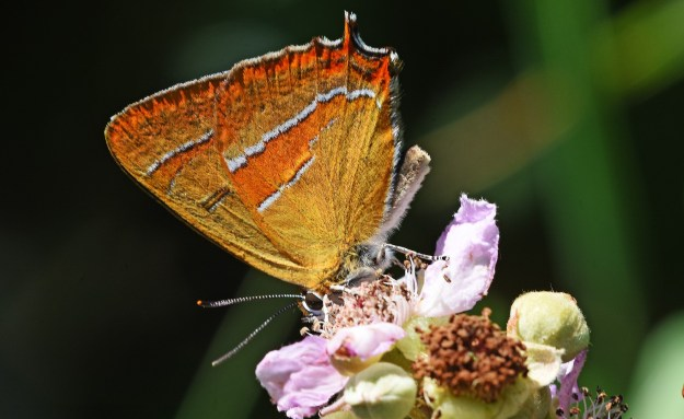 viw of a Brown Hairstreak with wings closed showing the markings og under hindwing and a little of fore-wing, nectaring on a bramble flower