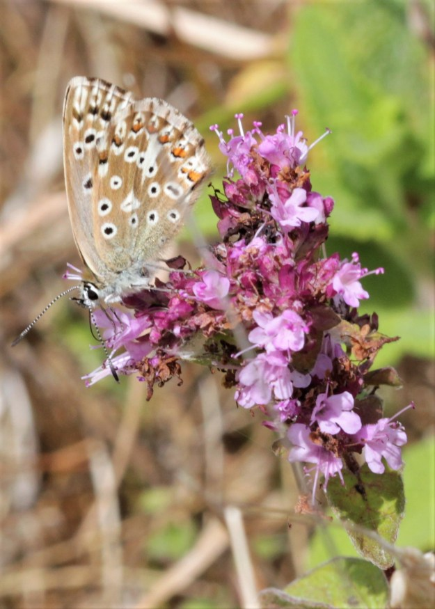 view of undersides of Chalkhill Blue on pink flowers
