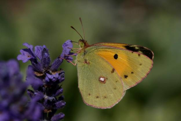 view ofa Clouded Yellow with wings half closed shoing part of under fore-wing and under hind-wing