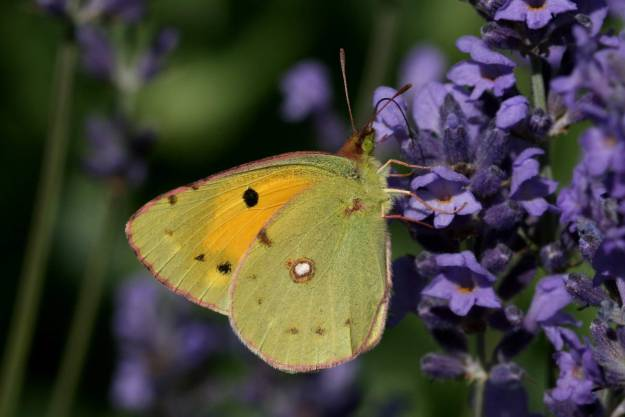view of Clouded Yellow wings half closed