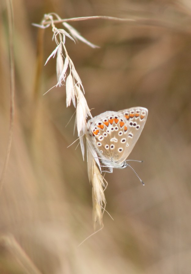 View of a Common Blue on a grasshead showing underside of hind wing and a little of fore-wing