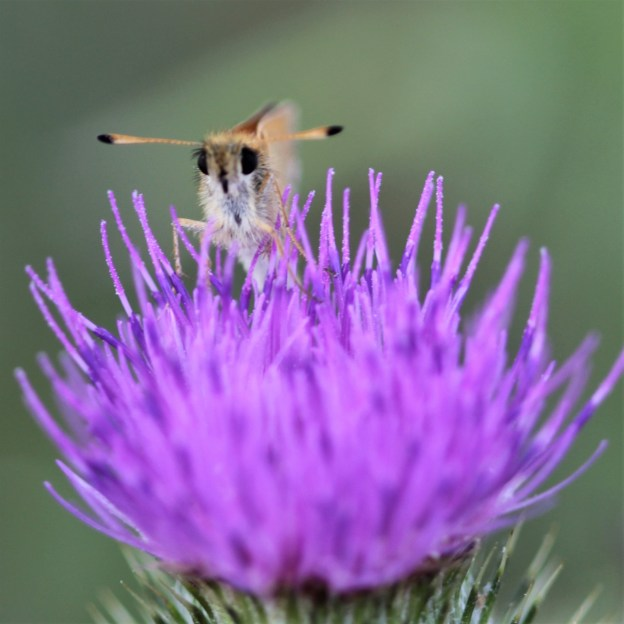view of an Essex Skipper peering opver a thistle showing the diagnostic black tips to the antennae