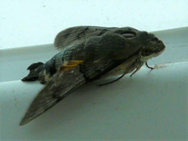 view of a Hummingbird Hawk Moth  resting on a window sill inside a house