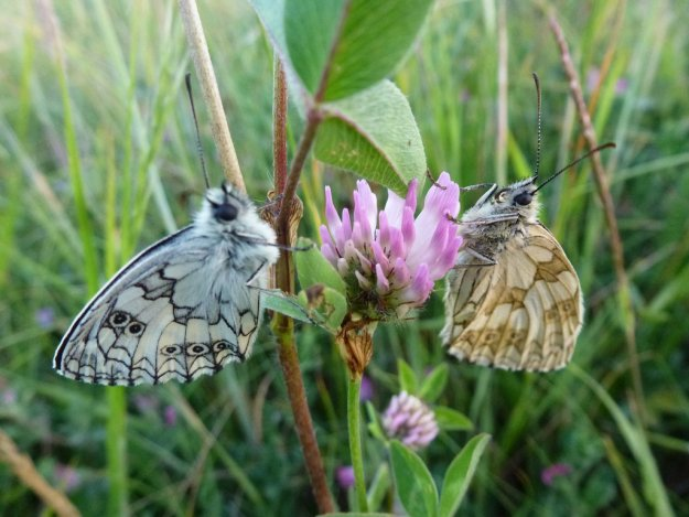 View of a Male and female Marbled White both nectaring on clover