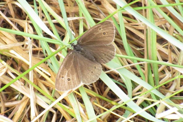 view of a Ringlet in grass with wings open wide clearly showing all its spots and rings