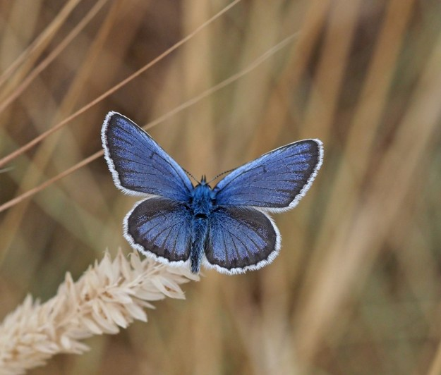 view of a Male Silver-studded Blue on a grass seed head showing its uppersides to all wings