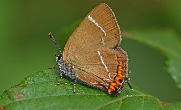 view of a White-letter Hairstreak resting on a leaf showing the undersides of its wings and the diagnostic markings