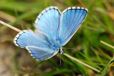 Turquoise blue butterfly with white fringes, throgh which black veins pass