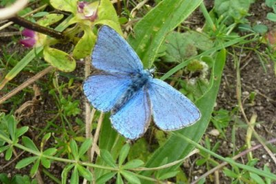 Blue butterfly with worn wings