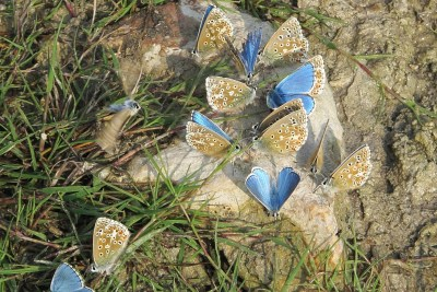 14 butterflies, some with open wings, some with closed, on a pale rock