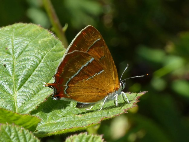 view of a Brown Hairstreak resting on a leaf shoing under hind-wing and a little under fore-wing