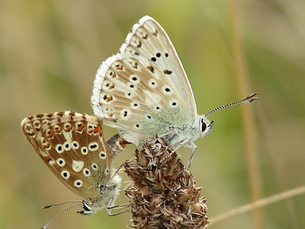 view of a pair of Chalk Hill Blues mating