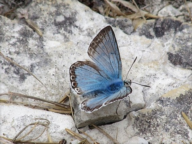 view of a Chalk Hill Blue resting on rocks with wings open