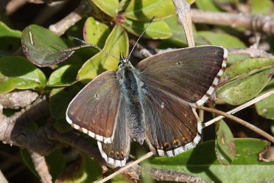 Brown butterfly with white fringes to its wings