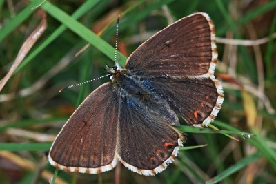 Dark brown butterfly with a white frond and some orange marks on the edge of the hindwings